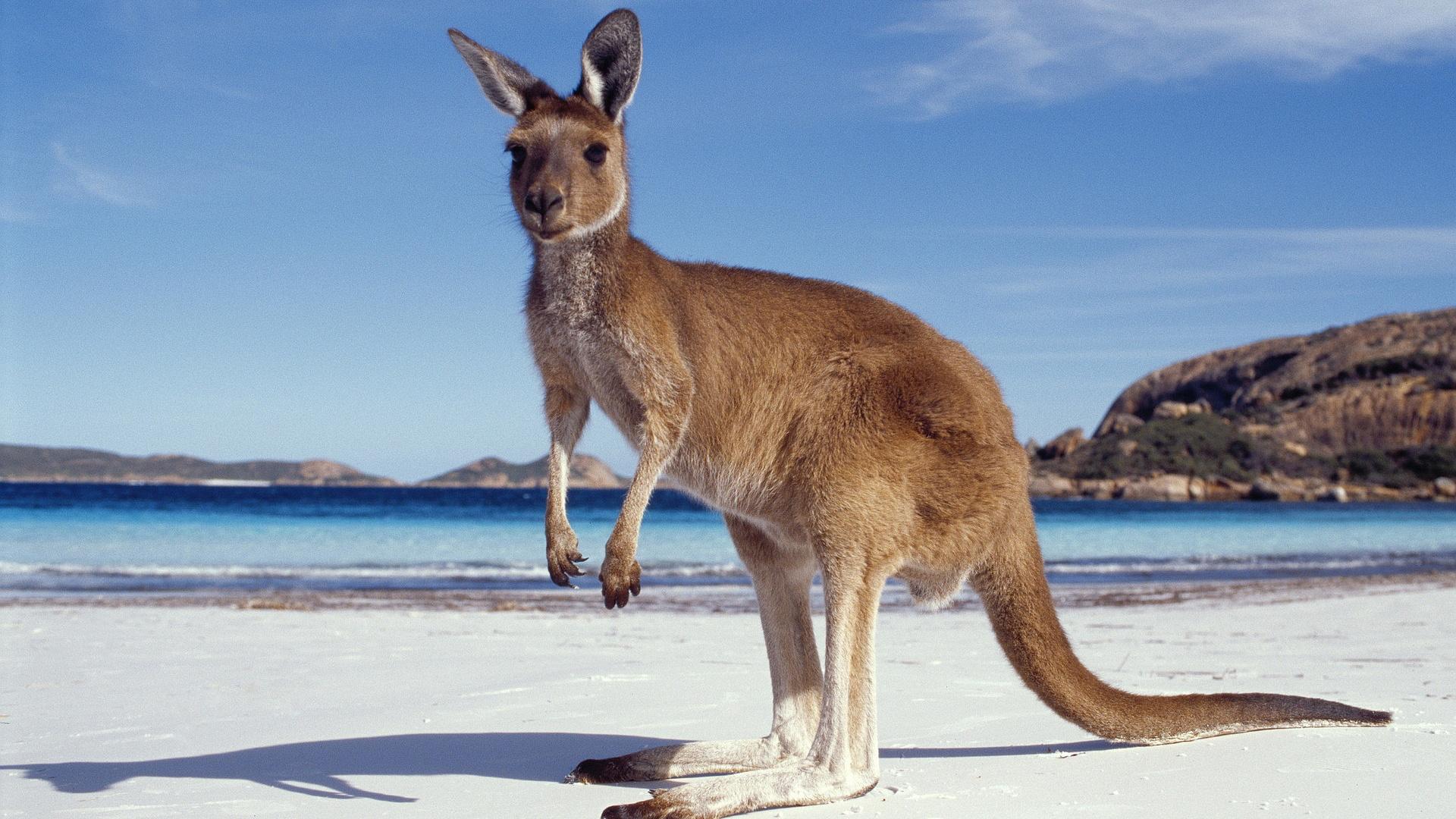 kangaroo7
